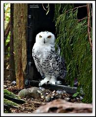 Snowy Owl (MEA Images) Tags: owl snowyowl wildlife birds zoos parks nature northwesttrekwildlifepark eatonville washington canon picmonkey