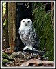 Snowy Owl (MEA Images) Tags: owl snowyowl wildlife birds zoos parks nature northwesttrekwildlifepark eatonville washington canon picmonkey