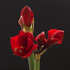 Amaryllis (Geziena) Tags: bloem bloeien bloei rood mooi knoppen background black natuur