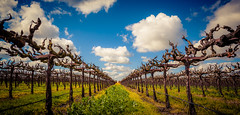 One more from the Vineyard! (Rohit KC Photography) Tags: lodi california ca usa america canon photographer photographylife sunny sunnyday clouds vine branches landscape canon5dmarkii canonef24105mmf4l cropped edited lightroom vignette vibrant loveforwine winecounty