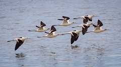 Flight of Avocets (tresed47) Tags: 2018 201803mar 20180306bombayhookbirds avocet birds bombayhook canon7d content delaware folder march peterscamera petersphotos places season shorebirds takenby us winter