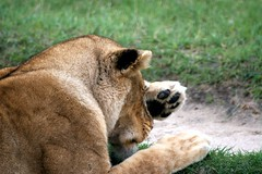 You did WHAT ? (Heaven`s Gate (John)) Tags: lion lioness tanzania africa safari africansafari closeup grass paw head fur wild animal born free johndalkin heavensgatejohn