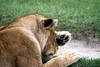 You did WHAT ? (Heaven`s Gate (John)) Tags: lion lioness tanzania africa safari africansafari closeup grass paw head fur wild animal born free johndalkin heavensgatejohn