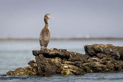 070A2945 (Cog2012) Tags: cormorant