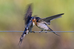 hungry wee welcome swallow #2 (Fat Burns ☮ (on/off)) Tags: welcomeswallow hirundoneoxena swallow bird australianbird australianswallow australianfauna fauna juvenilebied nikond500 sigma150600mmf563dgoshsmsports oxleycreekcommon brisbane queensland australia