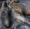 wildlands-emmen-14 (voorhammr) Tags: 2018 juul robin apen emmen giraffen ijsberen neushoorn nijlpaard pinquins prairiehonden vlinders wildlands zeeleeuwen zoo drenthe nederland nl