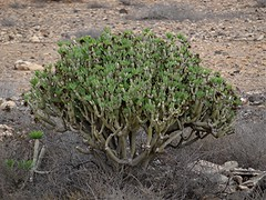 Oleanderblättrige Kleinie - Kleinia neriifolia, NGID487040112 (naturgucker.de) Tags: ngid487040112 naturguckerde oleanderblättrigekleinie kleinianeriifolia 1038097865 1062798284 938872571 chorstschlüter