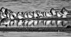 Dunlin and Redshank - Cresswell Ponds B&W (Gilli8888) Tags: nikon p900 coolpix nature northumberland birds wetlands water cresswell cresswellponds blackandwhite panorama redshank waders dunlin waterbirds