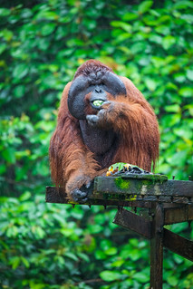 Aman, the legendary male Pongo pygmaeus (Bornean Orangutan). Matang Wildlife Centre