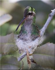 'seamstress skills' (d-lilly ~ on and off for awhile) Tags: hummingbirds arizona arizona2018 desertmuseum er