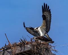 Spring Is In The Air (lennycarl08) Tags: osprey birdofprey raptor hawk fishhawk fisheagle ptmolateosprey eastbay richmondca birds bird