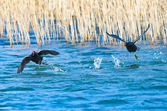 nah nah nah nah nah you can't catch me! (Paul Wrights Reserved) Tags: moorhen bird birding birds birdphotography birdwatching birdinflight chase chasing male males running flying splash splashing
