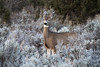 Chilly Morning (Ania Tuzel Photography) Tags: deer capitolreef utah frost eyecontact nature ef70200mmf4lisusm 200mm winter aniatuzel© frozen wildlife doe