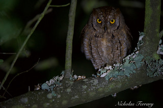 Scops Owl