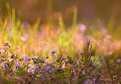 Spring Again ...:) (MargoLuc) Tags: colourful spring bokeh meadow flowers grass sunlight blue green golden