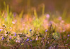 Spring Again ...:) (MargoLuc) Tags: colourful spring bokeh meadow flowers grass sunlight blue green golden