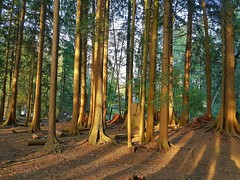 The woods at sunset (walneylad) Tags: eastviewpark westlynn lynnvalley northvancouver britishcolumbia canada march winter sun sunset light shadow park parkland forest urbanforest woods woodland trees branches log stump green brown yellow gold nature view scenery