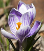 Crocus pair (Shotaku) Tags: garden flowers flower pair two duo macro closeup striped purple plants plant blooms blooming