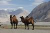 Hundar Valley (Rolandito.) Tags: asia india inde indien jammu kashmir ladakh valley camel camels hunder hundar