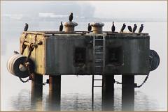 Annektoren ... (der bischheimer) Tags: hafen wismar ostsee baltic vögel kormoran canon derbischheimer