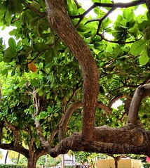 Cool Tree (Kristinemariexo) Tags: vacation jamaica photography nature cool leaves branch trees tree photo photoftheday picoftheday beautiful beauty beautyinnature