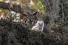 Fuzzball (PeterBrannon) Tags: bird bubovirginianus florida greathornedowl nature owlet tree wildlife motherhood owlintree spanishmoss