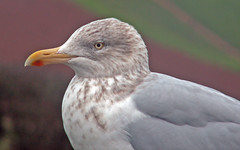 Juvenile Herring Gull (Cornishcarolin. Stupid busy!! xx) Tags: devon wwwcockingtoncourtorg birds gulls juvenilegull herringgull nature