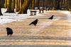 the park guards ;) (iwona.kilichowska) Tags: scene snow winter poland łazienkipark birds path walk silhouette