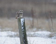 Short-eared owl (Andy Davis Photography) Tags: asioflammeus shortearedowl owl hunting quartering flying backlit snow ice winter marsh coast cold grass reeds tussocks
