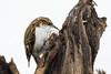 Treecreeper (Swell Wood) (Steve Balcombe) Tags: bird treecreeper certhia familiaris rspb swellwood somerset uk