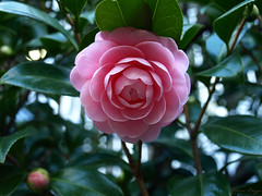 Pink camellia (DameBoudicca) Tags: tokyo tokio 東京 japan nippon nihon 日本 japón japon giappone camellia kamelia kamelie camelliajaponica つばき 椿 flower blomma blüte fleur flor fiore 花 はな pink rosa rose rosado ピンク 退紅 たいこう 淡紅色 たんこうしょく
