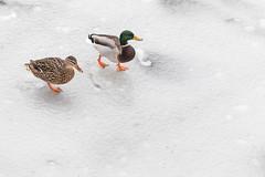 Two Ducks, Walking (Pittypomm) Tags: 2018p52 week10 twosubjects two ducks ice walk walking birds animals frozen river white waterfowl water bird