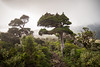 Stunted forest (loveexploring) Tags: ahukawakawatrack mountegmont mounttaranaki newzealand newzealandnativebush newzealandnativeforest northisland pouakairange taranaki cloud fog forest landscape mist stuntedvegetation trail tree egmontnationalpark nz