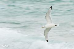 Kittiwake (Shetland, 2017) (Renate van den Boom) Tags: 06juni 2017 drieteenmeeuw europa grootbrittannië jaar maand renatevandenboom shetland vogels yell
