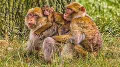 We are family..... (waynedavey67) Tags: canon 7d 7dmkii 300mmf28l monkey animal mammal wildlife natural ilovenature family baby