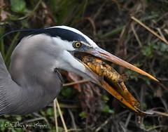 Great Blue Heron (larryvenus) Tags: yolobypasswildlifearea yolowildlifebasin yolocountybirds greatblueheron heron heroneatingfish nikon nikonphotography nikond500 tamron tamronphotography tamron150600mmlens