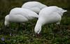 Grazing amongst spring flowers (PChamaeleoMH) Tags: anatidae birds centrallondon geese london rosssgeese stjamesspark