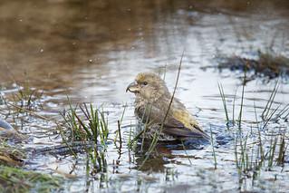 Grote Kruisbek - Parrot Crossbill - female -7640