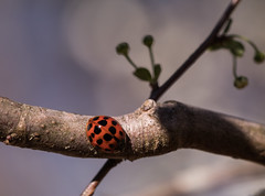 Little Explorer (Irina1010) Tags: ladybug insect red dots branch macro spring 2018 nature canon ngc coth5 npc