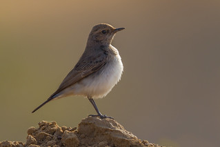 Red-tailed Wheatear | Oenanthe chrysopygia