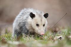 Opossum, Stillwater Marsh, Monroe County, IN. 3-12-18 (Ryan J Sanderson) Tags: ryan sanderson canon 5dsr 1dx2 1dx mark ii 2 1dxii monroe county indiana march 12 2018 bloomington unitedstates us opossum stillwatermarsh monroecounty in31218