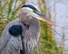 Great Blue Heron Chest Feathers (dianne_stankiewicz) Tags: heron greatblueheron gbh feathers nature wildlife