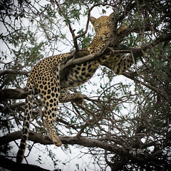 2017 Dinea (jeho75) Tags: sony ilce 7m2 tele g south africa madikwe game drive safari leopard cat big five animal tierfoto groskatze südafrika