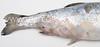 Flavobacterosis_coho_salmon_gross_IV (Patologiaenacuicultura) Tags: fishdiseases fishdisease fishpathology rainbowtroutpathology coldwaterdiseases rainbowtroutfrysyndrome peduncledisease cwd rtfs skinpathology erosion ulcer haemorrhage