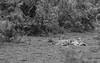 Go away, hoomin (pointn'click) Tags: kaziranga wildlife grasslands tiger sleep snooze