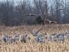 IMGPJ32924_Fk - Jackson County Indiana - Migratory Birds - Ewing Bottoms - Sandhill Cranes (David L. Black) Tags: jacksoncountyindiana birds sandhillcranes olympusomdem1mkii olympus300f4014xtc