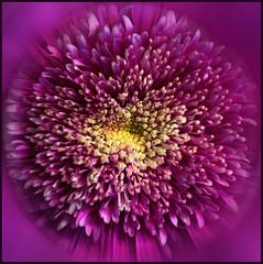 (Cliff Michaels) Tags: iphone 8 photoshop pse9 kroger flowers