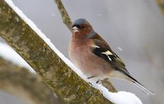 Chaffinch (Lt_Dan) Tags: fringuello chaffinch wildlife nature natureshot natura songbirds alpago belluno veneto italia italy canon600d canon400f56lusm snow winter