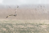 R18_8714 (ronald groenendijk) Tags: cronaldgroenendijk 2018 rgflickrrg animal asioflammeus bird birds birdsofprey copyrightronaldgroenendijk groenendijk nature natuur natuurfotografie outdoor owl owls ronaldgroenendijk shortearedowl uil uilen velduil vogel vogels