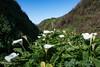 Big Sur Coast, Lilies at Garrapata Beach (adamkmyers) Tags: lily callalily bigsur garrapata california highwayone pch